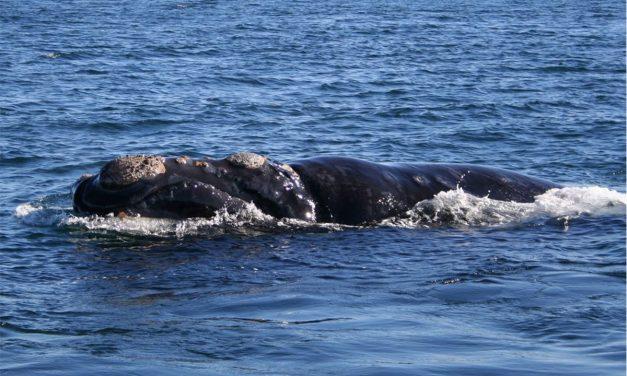 Endangered whale Calves Seen Off US East Coast