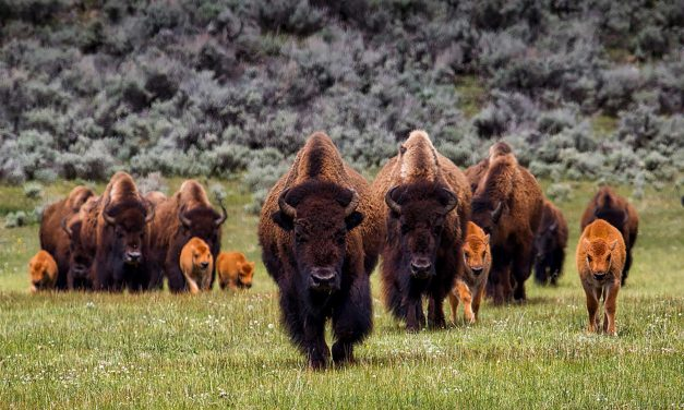 How Bison are Making a Comeback from the Brink of Extinction