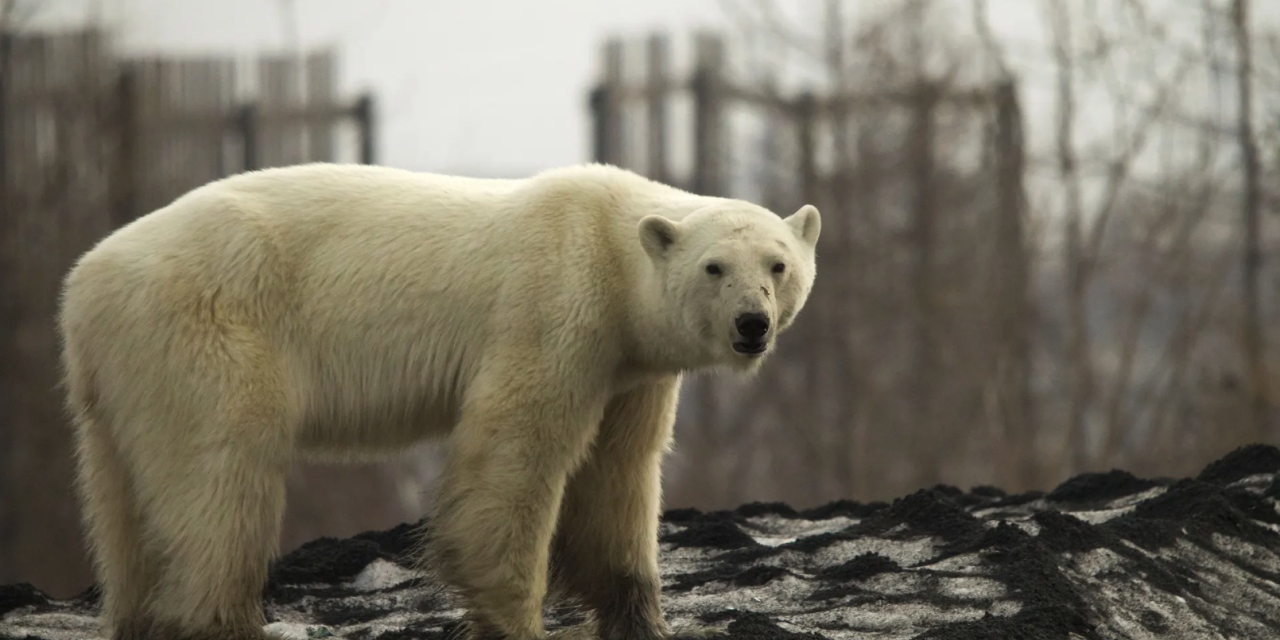 Polar Bear Sighted in Siberian City for the First Time in 40 Years