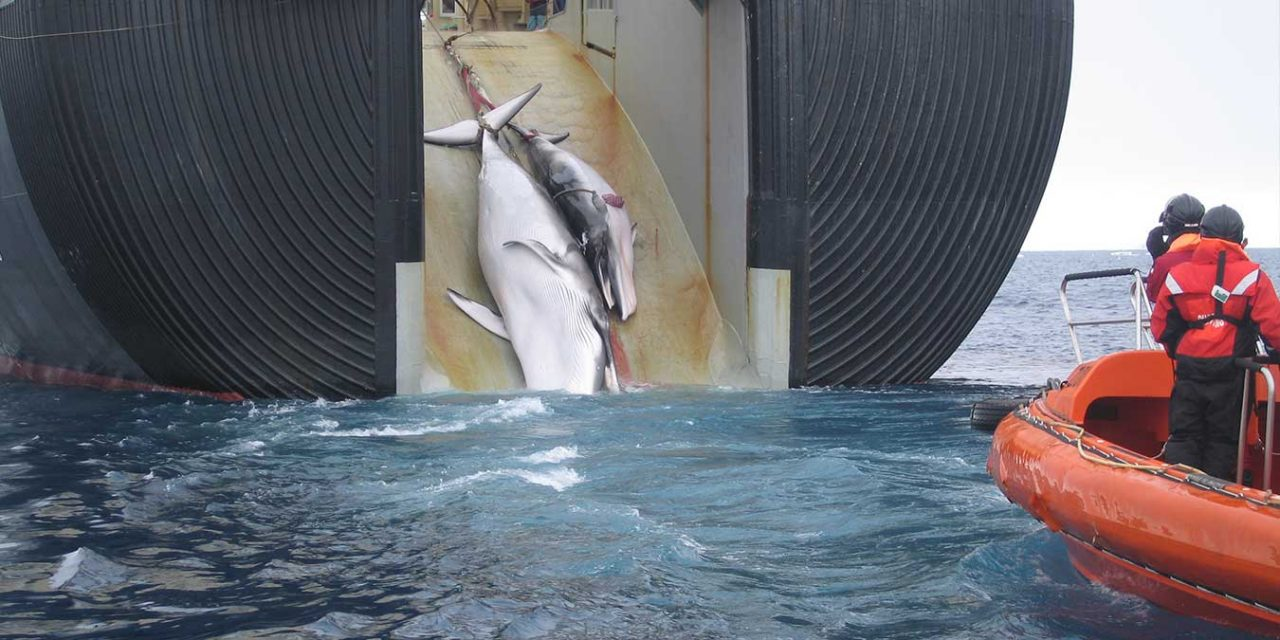 Commercial Whaling Resumes in Japan for First Time in 30 Years
