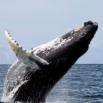 Good News – the Population of Humpback Whales Is on the Rise