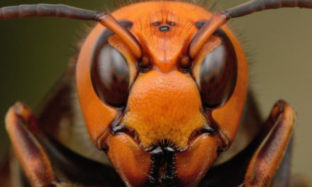 Murder Hornets Arrive in the US