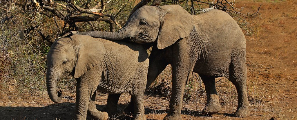 Hundreds of Elephants in Botswana are Mysteriously Dying