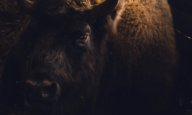 Bison Returns to UK Soil after Thousands of Years
