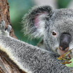 Koalas Face Extinction in New South Wales by 2050