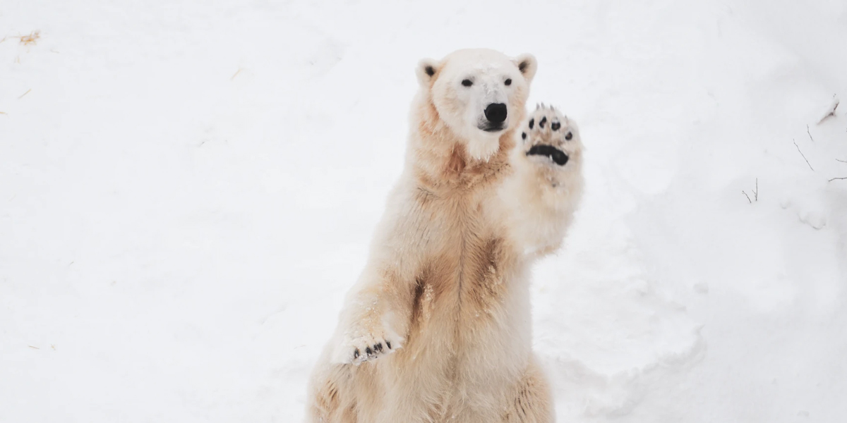 Nearly All Polar Bear Populations Heading to Extinction by 2100